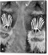 Adult Male Mandrills Black And White Version Acrylic Print