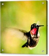Adult Male Ruby-throated Hummingbird Acrylic Print