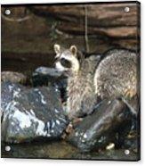 Adult Raccoon Hunting Acrylic Print