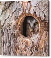 Adult Saw-whet Owl Acrylic Print