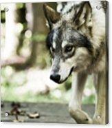 Aero Wolf 1 Acrylic Print