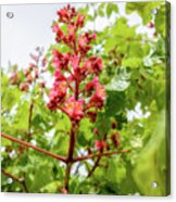 Aesculus X Carnea, Or Red Horse-chestnut Flower Acrylic Print