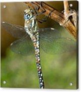Aeshna Mixta Dragonfly Acrylic Print