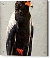 African Eagle-bateleur II Acrylic Print