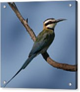 African Bee Eater Acrylic Print