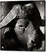 African Buffalo Bull Close-up Acrylic Print