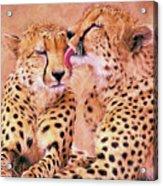 African Cheetah's  Acrylic Print