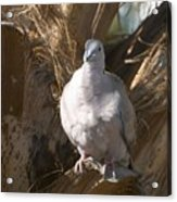African Collared Dove 3 Acrylic Print