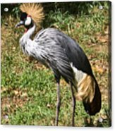 African Crowned Crane Poising Acrylic Print