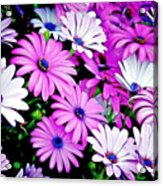 African Daisies - Arctotis Stoechadifolia Acrylic Print