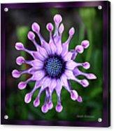 African Daisy - Hdr Acrylic Print