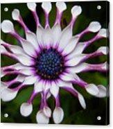 African Daisy Acrylic Print
