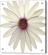 African Daisy With White Petals Acrylic Print