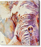 African Elephant _ The Governor Acrylic Print