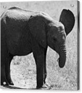 African Elephant Calf Acrylic Print