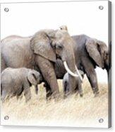 African Elephant Group Isolated Acrylic Print