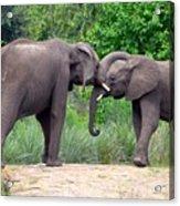 African Elephants Interacting Acrylic Print