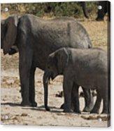 African Elephants Mother And Baby Acrylic Print