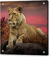 African Female Lion In The Grass At Sunset Acrylic Print