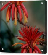 African Fire Lily Acrylic Print