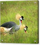 African Gray Crown Crane Acrylic Print