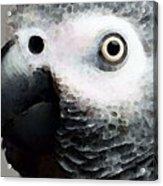 African Gray Parrot Art - Softy Acrylic Print