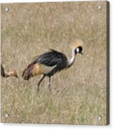 African Grey Crown Crane Acrylic Print