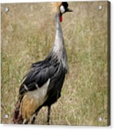 African Grey Crowned Crane Acrylic Print