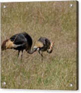 African Grey Crowned  Crane With Chick Acrylic Print