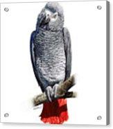 African Grey Parrot C Acrylic Print