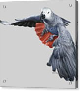 African Grey Parrot Flying Acrylic Print