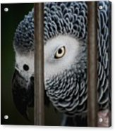 African Grey Acrylic Print by Robert Meanor