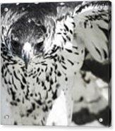 African Hawk Eagle 2 Acrylic Print