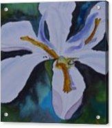 African Iris Acrylic Print