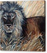 African Lion 2 Acrylic Print