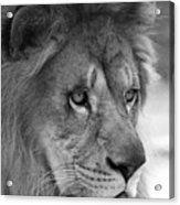 African Lion #8 Black And White Acrylic Print