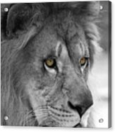 African Lion #8 Black And White  T O C Acrylic Print