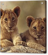 African Lion Cubs Resting On A Rock Acrylic Print