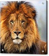 African Lion 1 Acrylic Print