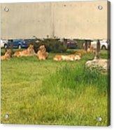 African Lion Acrylic Print