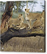 African Lion Panthera Leo Family Acrylic Print