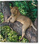 African Lion Panthera Leo On Tree, Lake Acrylic Print