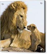 African Lion Panthera Leo Seven Acrylic Print