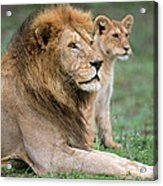African Lion Panthera Leo With Its Cub Acrylic Print