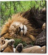African Lion Sleeping In Serengeti Acrylic Print