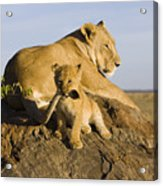 African Lion With Mother's Tail Acrylic Print by Suzi Eszterhas