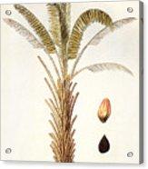 African Oil Palm Acrylic Print