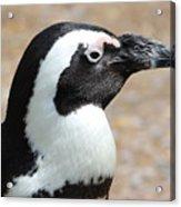 African Penguin  Acrylic Print