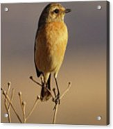 African Stone Chat Female Acrylic Print