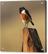 African Stone Chat Acrylic Print